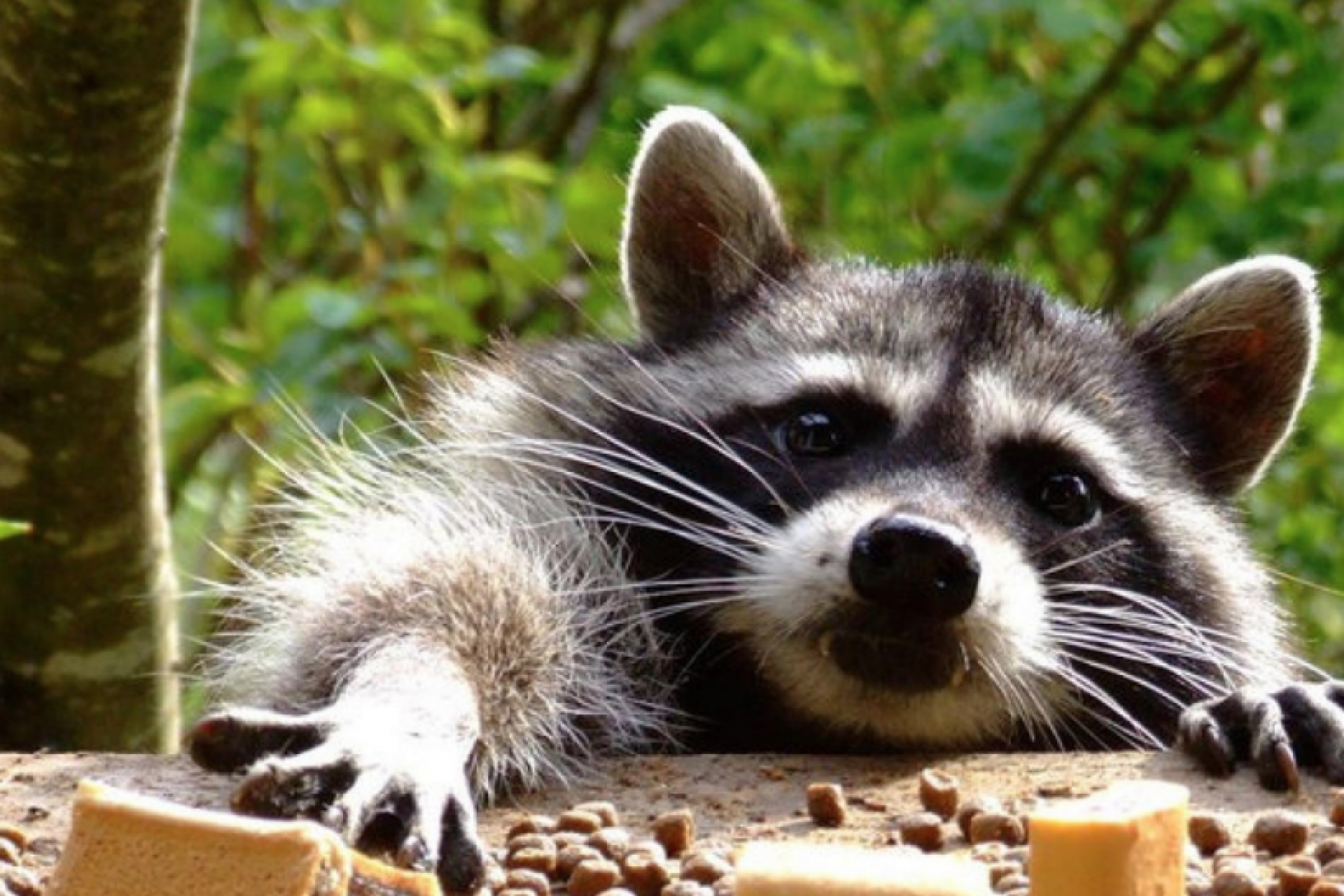 A cafe with raccoons opened in Kaluga
