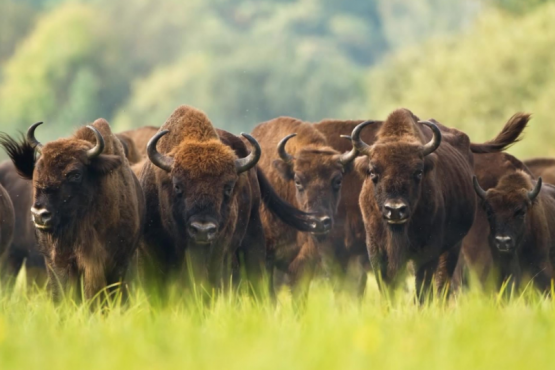 In North Ossetia, the Tsei group of bison