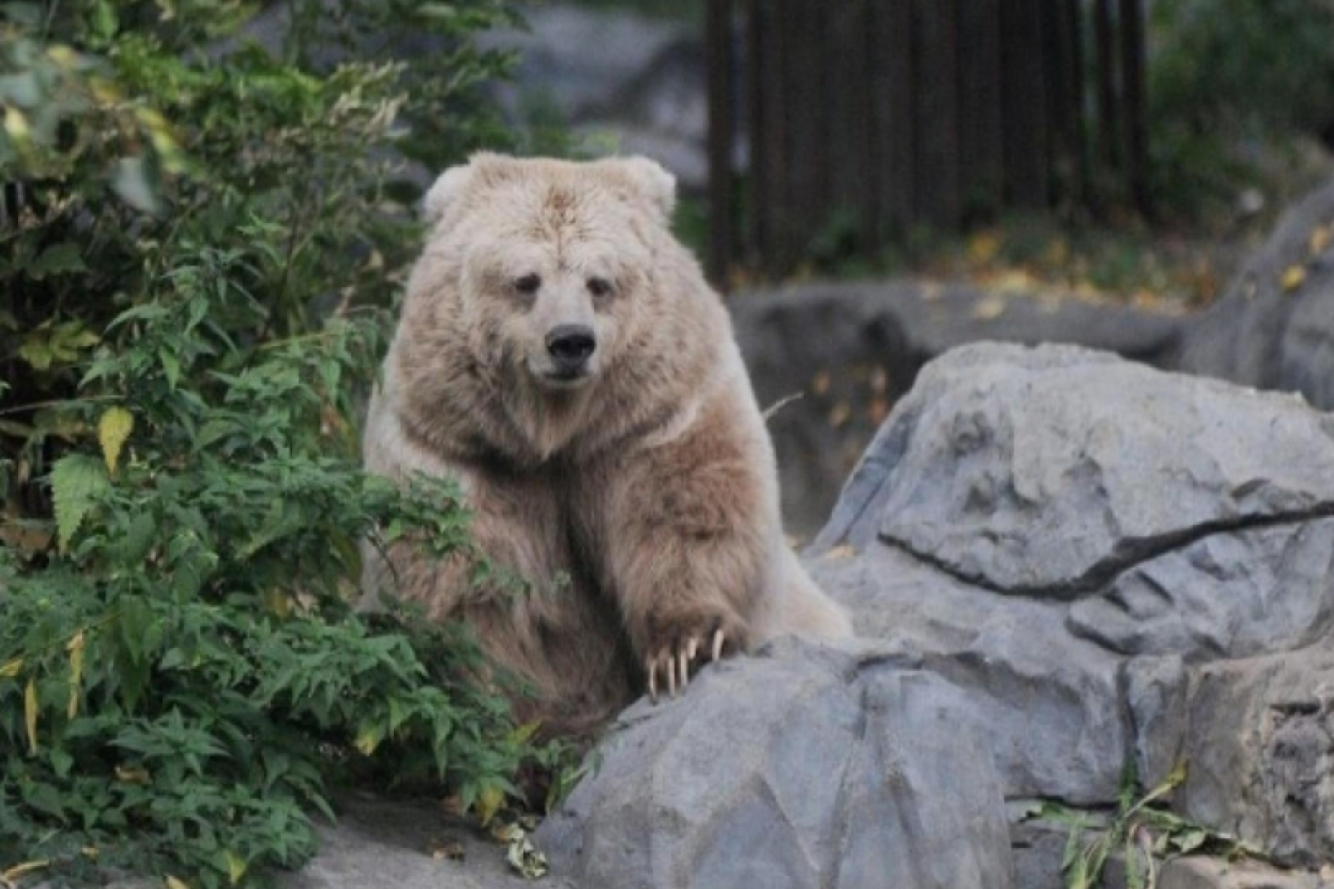 Tien-Shan bears of Kirghizia destroyed a herd of sheep and did not touch a man