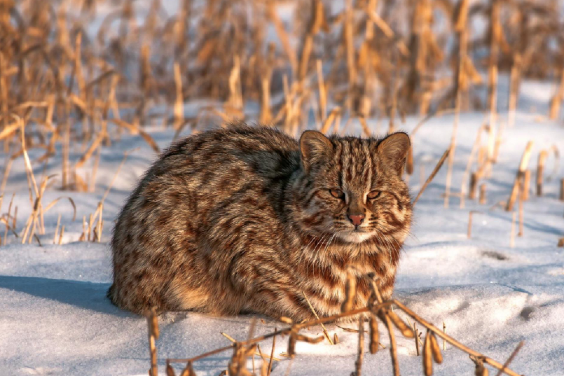 Amur Forest Cat for the first time in 30 years, appeared in the Moscow Zoo