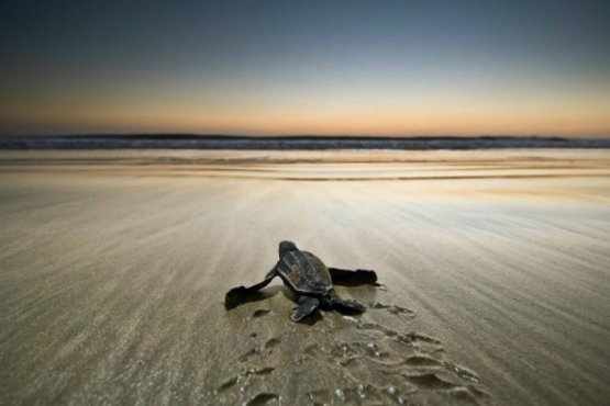 To attract tourists in Australia began to use turtles