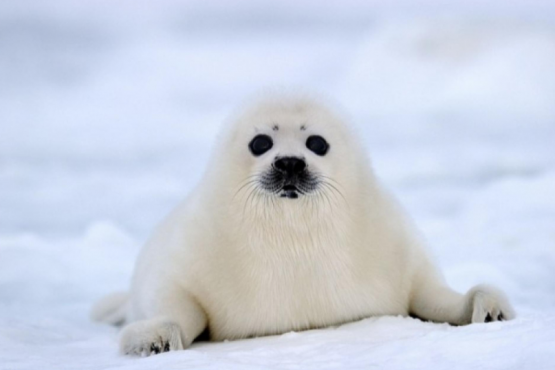 In Canada, lost seals