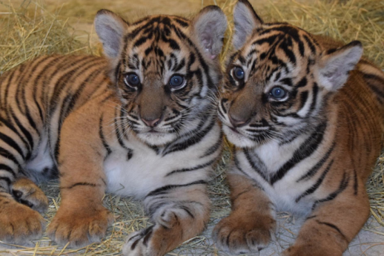 Red Book tigers were born in an Indonesian zoo