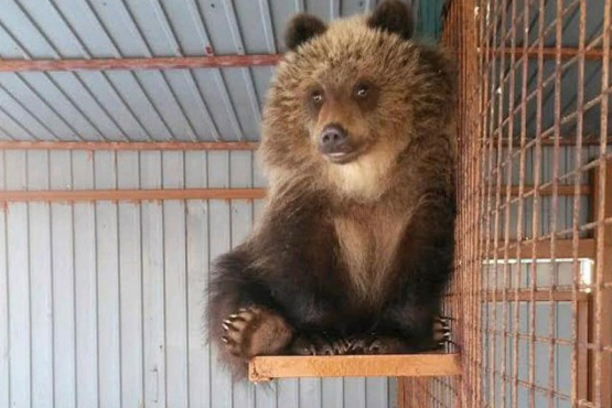 In Kamchatka, volunteers saved a bear from starvation