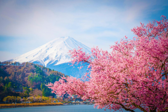 Japanese meteorologists told about the dates of the beginning of the flowering of sakura