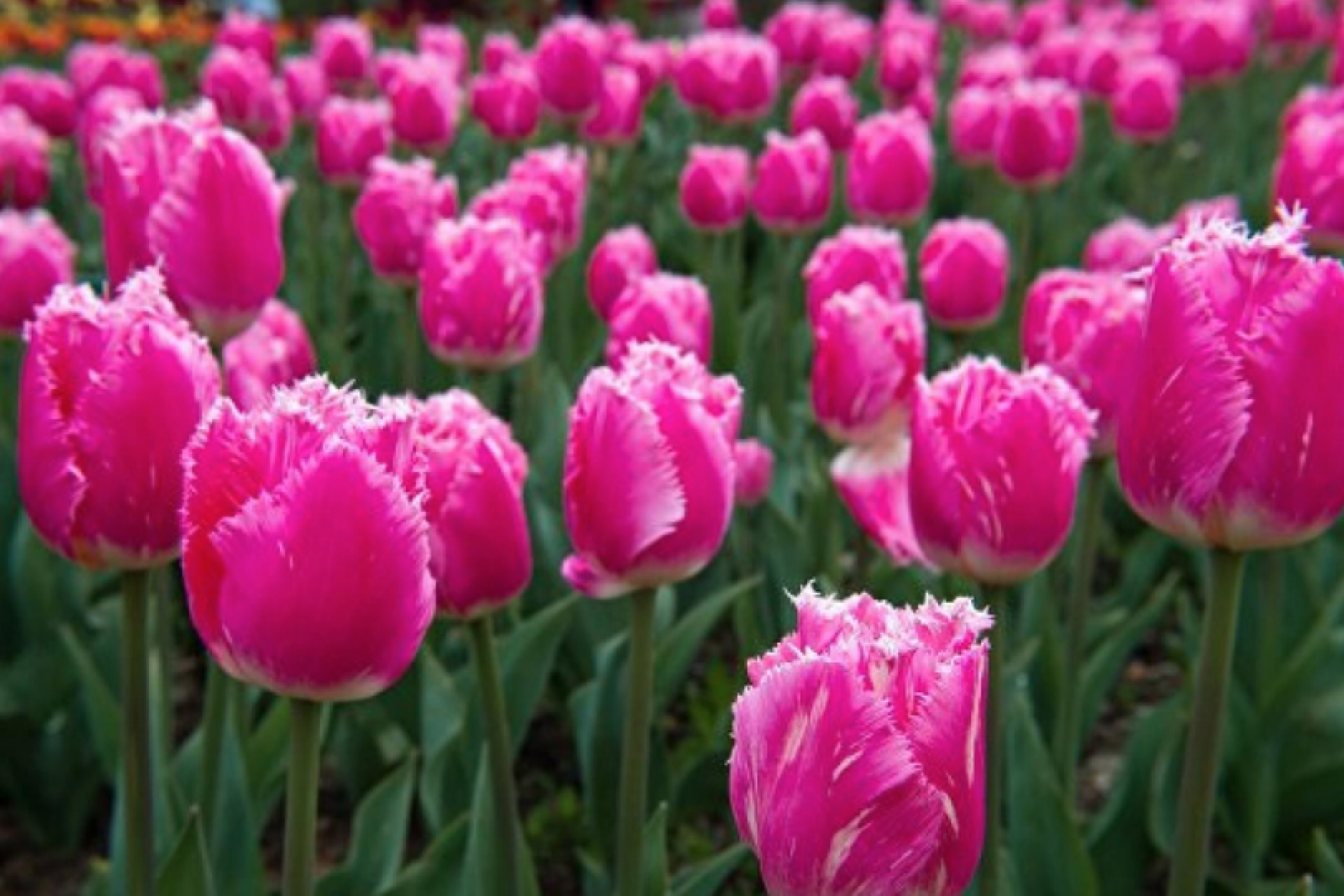Crimean tulip exhibition in 2019 will exceed expectations